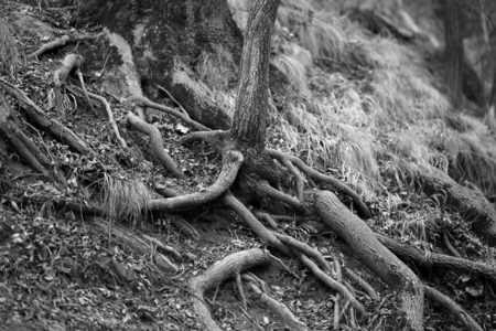 Photo of unusual tree roots in the forest evening