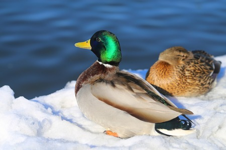 Large photo of drake and duck sacred sun river winter Stock Photo