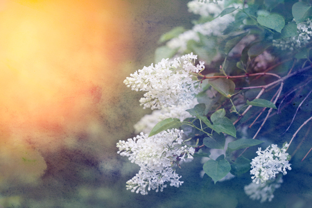 Photo of a macro retro background with a blooming lilac in the spring