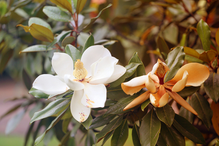 Photos of beautiful white magnolia flowers in the Park in summer