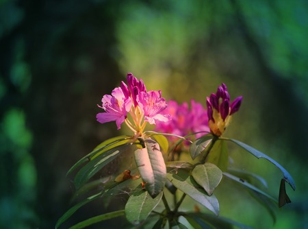 Photo of a lovely lilac rhododendron flower in the spring in the park