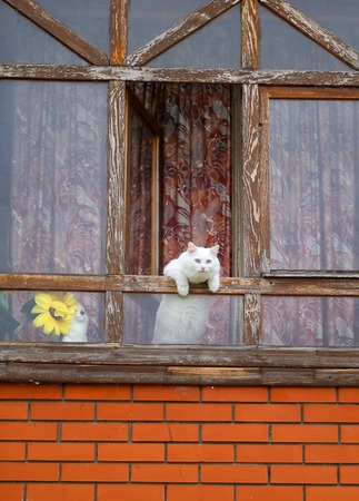 Photo of a macro funny white cat pops out of a window