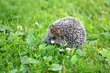 Photo of a macro funny hedgehog on the grass in the park Stok Fotoğraf