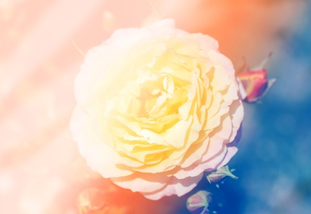Photo of retro background of a beautiful rose in the garden Stockfoto
