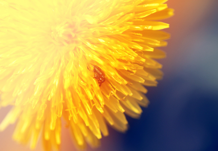 Photo of a macro background yellow dandelion Stock Photo