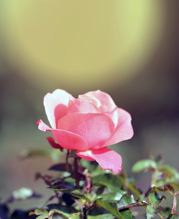 Photo of a beautiful retro pink rose background in the garden