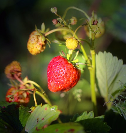 Photo of a close-up of a bright ripe strawberry in a summer garden