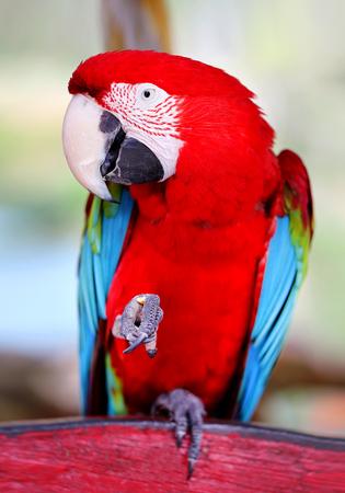 정글에서 재미있는 큰 근접 빨간 앵무새의 사진 스톡 콘텐츠 - 105029705