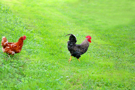 Photo of a funny funny cock and chickens on green grass Banco de Imagens