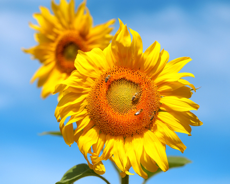 Beautiful photo of a bright sunflower