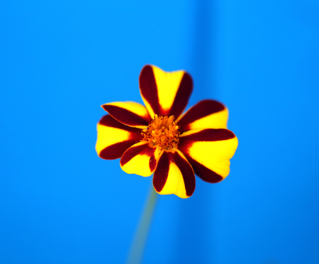 Photo of a bright unusual flower marigold on a blue background
