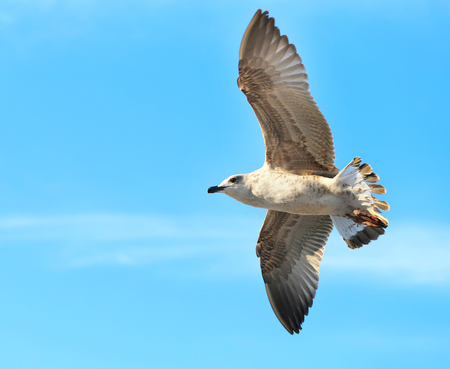 Photo background macro white gull flying on a blue sky 写真素材 - 114966352