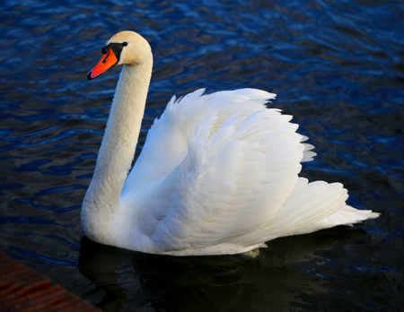 Bright macro photo of a beautiful white swan in a blue pond Imagens