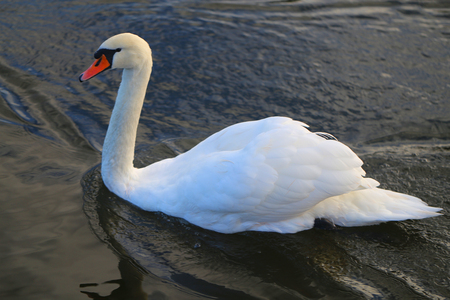 Bright macro photo of a beautiful white swan in a blue pond Stock Photo