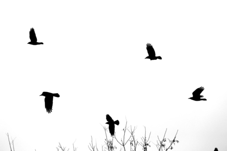 Photo of black silhouettes of flying birds on a winter background 스톡 콘텐츠