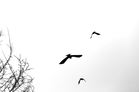 Photo of black silhouettes of flying birds on a winter background Stockfoto