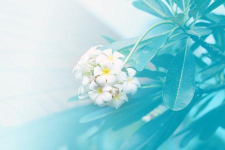 Beautiful tropical exotic white frangipani flowers on a beautiful foliage background