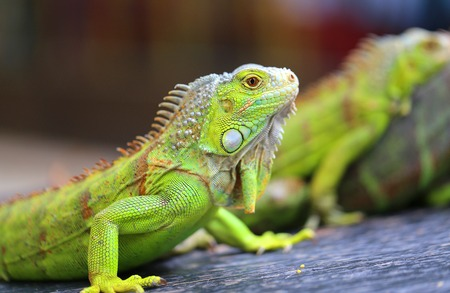 Bright macro photo of a green big iguana in a summer park Stock Photo