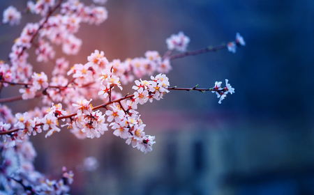Photo background of pink bright apricot flowers in Armenia in spring 版權商用圖片