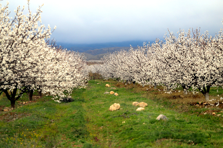 Photo landscape blooming apricot orchards in Armenia in spring Banco de Imagens - 121703982