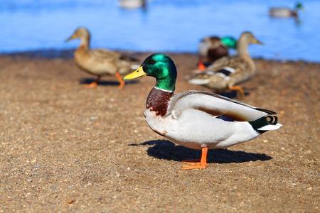Macro photo of a big birds duck Reklamní fotografie - 122601287