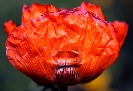 Fine macro photo of red poppy in summer garden
