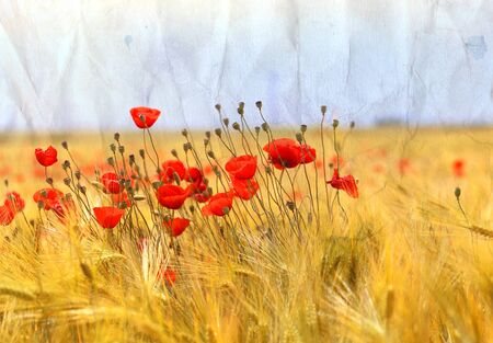 Photo landscape of beautiful red poppies flowers on a field in summer in Russia