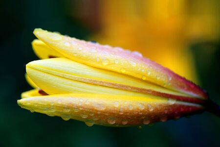 Photo of a beautiful lily with drops of dew in the summer garden.