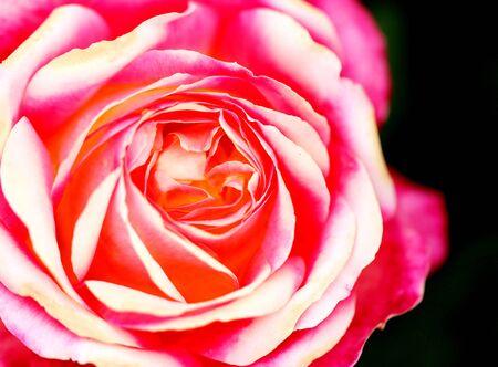Gorgeous retro photo background super roses