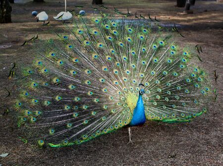 Photo of a large beautiful peacock in the garden
