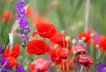 Photo background beautiful red poppies in the field