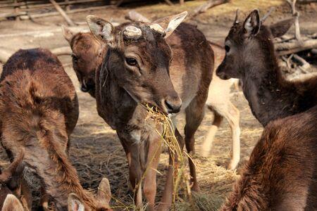 herbivore: deer without antlers Stock Photo
