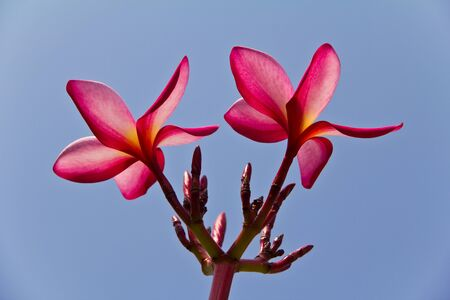 Close up of Tropical Frangipani Stock Photo - 8702553