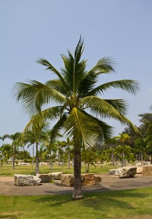 Albero di Palma di cocco nel parco. Archivio Fotografico - 9183188