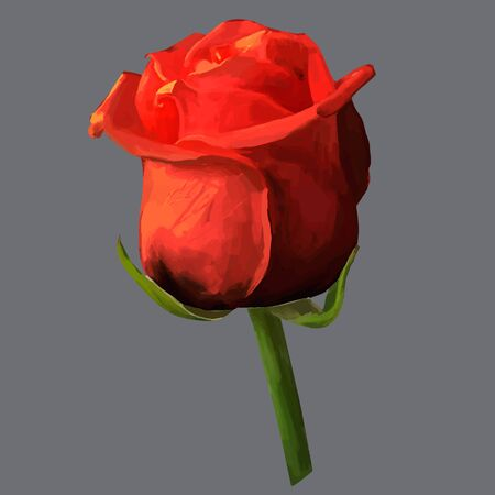time lapse: Rose blossoming bud isolated  illustration