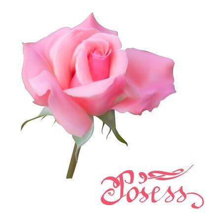 roses vector set Stock Photo