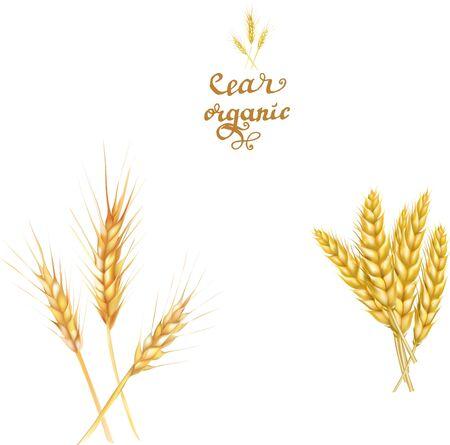 wheat spikelets realistic vector illustration Illusztráció
