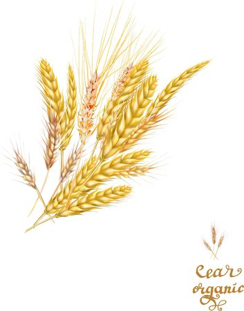 ears of wheat rye detailed vector illustration
