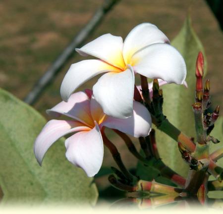 plumerias: Florescent White plumeria flowers in Thailand