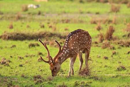 Photo of a deer in the meadow, while looking for grass to eat