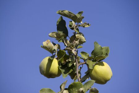 Two quince fruits on the branch Stock Photo - 13565302