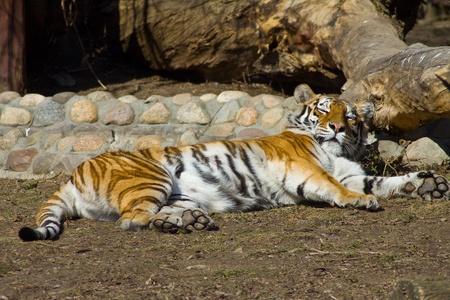 tigresa: Young amur tigre Panthera tigris altaica en el zoo de Mosc�