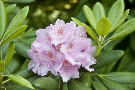 Elegant pink rhododendron in botanical garden Stock Photo - 13565341