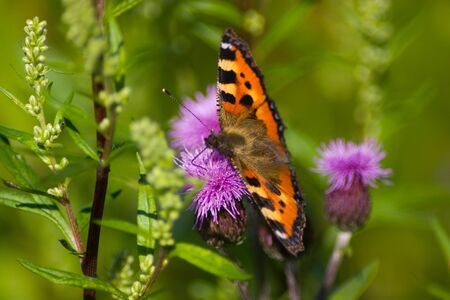 vanessa: Red Admiral  Vanessa atalanta  butterfly