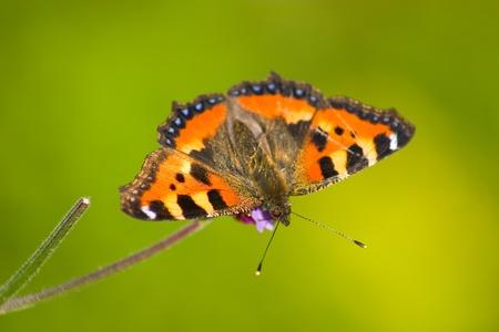 tortoiseshell: Small tortoiseshell butterfly  Aglais urticae