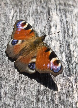io: Peacock butterfly  Vanessa io  on the board fence Stock Photo