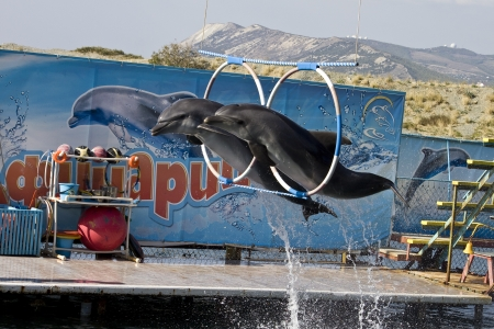 Two dolphins jumps throughth the hoops in the Utrish dolphinarium