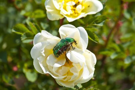 Rose chafer  Cenonia aurata  on the white wild rose flower Stock Photo - 13842747