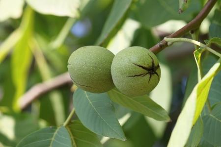 circassian: Two green circassian walnuts on the branch Stock Photo