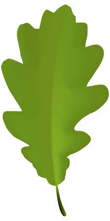 enten: Groen blad van eiken boom